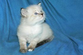 Foto 3 Sibirisches Kätzchen mit Papiere