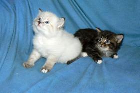 Foto 4 Sibirisches Kätzchen mit Papiere