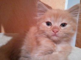 Sibirisches Katzenm�dchen sucht neues Zuhause !!!