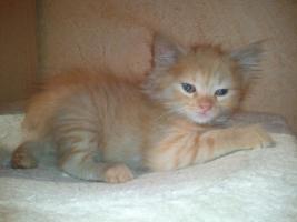 Foto 2 Sibirisches Katzenm�dchen sucht neues Zuhause !!!