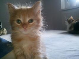 Foto 3 Sibirisches Katzenm�dchen sucht neues Zuhause !!!