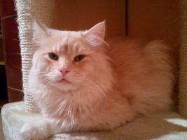 Foto 4 Sibirisches Katzenm�dchen sucht neues Zuhause !!!