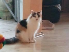 Foto 5 Sibirisches Katzenm�dchen sucht neues Zuhause !!!