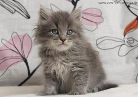 Foto 3 Sibirisches Kitten mit Stammbaum. Ab Mai zu vergeben...