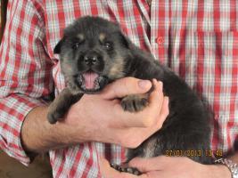 Welpe, 3 Wochen alt