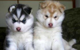 Foto 3 Sieben reinrassige Husky-Welpen suchen ein tolles Zuhause