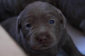 Silber und charcoal Labrador Welpen!