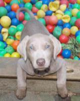 Silberne & Dunkelsilberne Labrador Welpen sind abgabebereit!!!