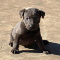 Foto 2 Silberne & Dunkelsilberne Labrador Welpen sind abgabebereit!!!