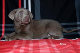 Silberner Labrador Rüde ''Silas'' in seltenen Mantel