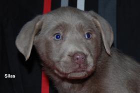 Foto 2 Silberner Labrador Rüde ''Silas'' in seltenen Mantel
