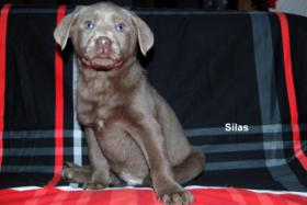 Foto 3 Silberner Labrador Rüde ''Silas'' in seltenen Mantel