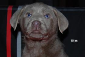 Foto 4 Silberner Labrador Rüde ''Silas'' in seltenen Mantel