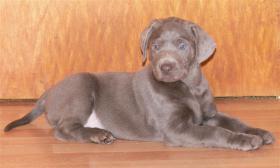 Foto 2 Silver und Charcoal Labrador Welpen
