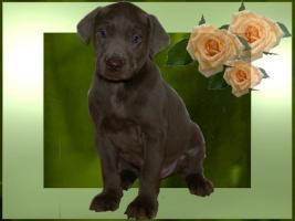 Foto 4 Silver und Charcoal Labrador Welpen