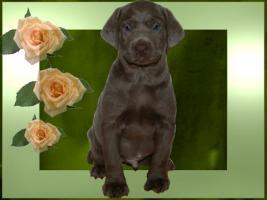 Foto 5 Silver und Charcoal Labrador Welpen