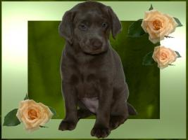 Foto 6 Silver und Charcoal Labrador Welpen