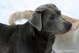 Foto 7 Silver und Charcoal Labrador Welpen