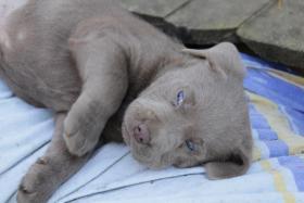 Silver Labrador Welpen!