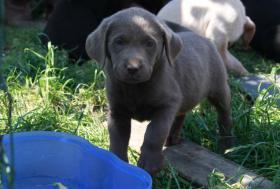 Foto 2 Silver Labrador Welpen ab sofort abzugeben!