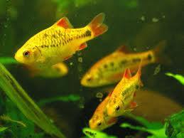 Foto 3 Skalare, Barben, Zwergfadenfische, Fadenfische, Zwergkrallenfrösche, Pflanzen, Mutterpflanzen, etc.