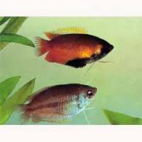 Foto 5 Skalare, Barben, Zwergfadenfische, Fadenfische, Zwergkrallenfr�sche, Pflanzen, Mutterpflanzen, etc.