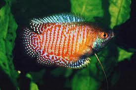 Foto 9 Skalare, Barben, Zwergfadenfische, Fadenfische, Zwergkrallenfrösche, Pflanzen, Mutterpflanzen, etc.