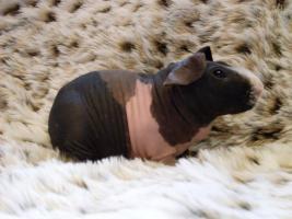 Foto 2 Skinny Pigs Nacktmeerschweinchen abzugeben
