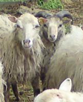 Foto 3 Skuddenböckchen mit schönen Hörnern