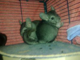 Foto 4 Sniff ... Notfall Chinchilla