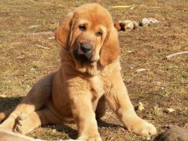 Spanische Mastiff Welpen mit Papiere