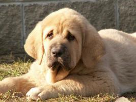 Foto 4 Spanische Mastiff Welpen mit Papiere