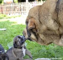 Foto 4 Spanischer Mastiff mit Stammbaum