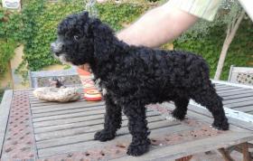Foto 2 Spanischer  Wasserhund  perro de agua  Familienzucht reinrassig