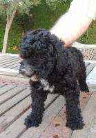 Foto 3 Spanischer  Wasserhund  perro de agua  Familienzucht reinrassig