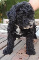 Foto 4 Spanischer  Wasserhund  perro de agua  Familienzucht reinrassig