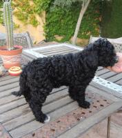 Foto 5 Spanischer  Wasserhund  perro de agua  Familienzucht reinrassig