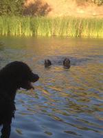 Foto 7 Spanischer  Wasserhund  perro de agua  Familienzucht reinrassig