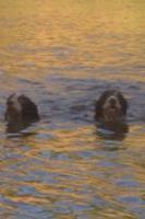 Foto 8 Spanischer  Wasserhund  perro de agua  Familienzucht reinrassig