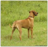 Foto 4 Spannende Rhodesian Ridgeback  Wurfplanung für das Frühjahr 2013 im Kennel ''de Ducomè'' Livernosewelpen werden erwartet!!!