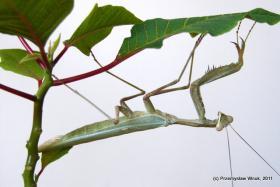 Sphodromantis sp. (adultes Männchen) zu verschenken