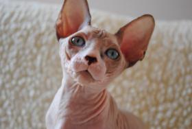 Foto 2 Sphynx schöne blauäugige Kätzchen mit Papiere