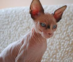 Foto 3 Sphynx schöne blauäugige Kätzchen mit Papiere