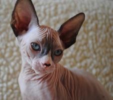 Foto 5 Sphynx schöne blauäugige Kätzchen mit Papiere