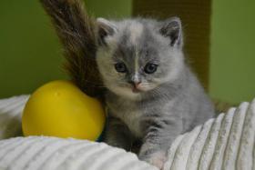 Foto 2 Spitzen Kätzchen BKH mit Stammbaum abzugeben