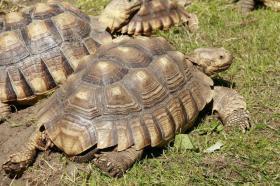 Spornschildkröten (männlich) zu verkaufen