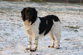 Stabyhoun - Friesischer Vorstehhund - Welpen mit Papiere