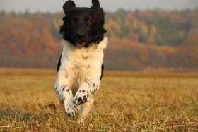 Foto 2 Stabyhoun - Friesischer Vorstehhund - Welpen mit Papiere