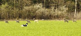 Foto 3 Stabyhoun - Friesischer Vorstehhund - Welpen mit Papiere