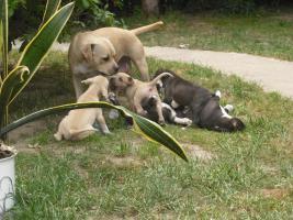 Foto 2 Staffordwelpen!!!noch zwei Mädels, suchen ab29.06.2011 e.liebes Zuhause!!!